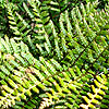 Dryopteris erythrosora - Prolifica - Copper Shield fern, Dryopteris