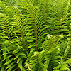Dryopteris filix-mas - Male fern