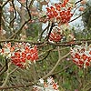 Edgeworthia chrysantha - Red Dragon