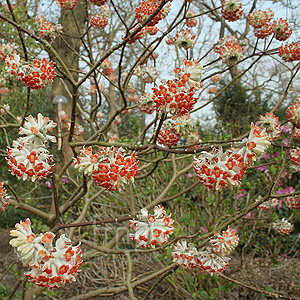 Edgeworthia chrysantha - 'Red Dragon'