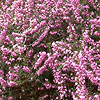 Erica x darleyensis - Arthur Johnson - Heather