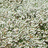 Erica carnea - Springwood White - Heather