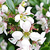 Escallonia - Apple Blossom - Escallonia