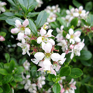 Escallonia - 'Apple Blossom' (Escallonia)