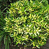 Euonymus fortunei - Sunspot