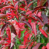 Euonymus europaeus - Red Cascade - Ornamental Spindle