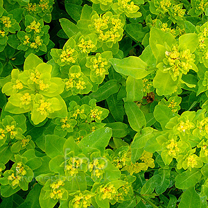 Euphorbia pilosa - 'Major'