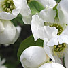 Exochorda x macrantha - The Bride