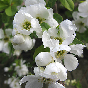 Exochorda x macrantha - 'The Bride'