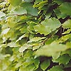Fagus sylvatica - Common Beech, Fagus