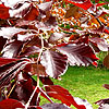 Fagus sylvatica - Purpurea - Fagus, Copper Beech