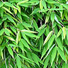 Fast growing shrubs that will provide privacy and quick for Fast growing climbing plants for screening