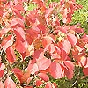 Fothergilla major - Witch Alder