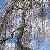 Fraxinus excelsior - Pendula - Weeping Ash