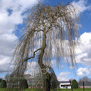 Fraxinus excelsior - 'Pendula' (Weeping Ash)