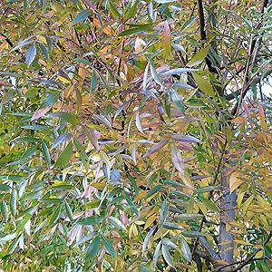 Fraxinus Angustifolia Raywood Ash Information