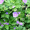 Geranium - Johnsons Blue