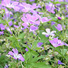 Geranium sylvaticum - Mayflower - Cranesbill