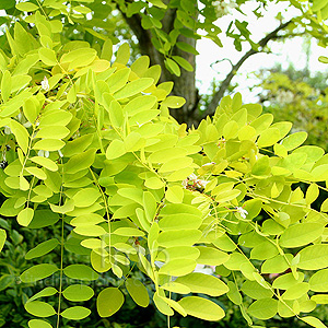 Gleditsia triacanthos - 'Sunburst' (Honey Locust)