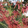 Hamamelis X intermedia - Jelena - Witch Hazel
