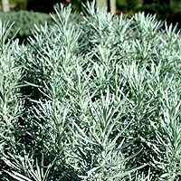 Helichrysum Angustifolium Curry Plant Information