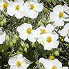Helianthemum apenninum - Rock Rose