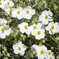 Helianthemum apenninum (Rock Rose)