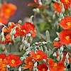 Helianthemum - Henfield Brilliant - Rock Rose