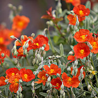 Helianthemum - 'Henfield Brilliant' (Rock Rose)