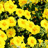 Helianthemum Ben Fhada - Rock Rose