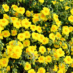 Helianthemum Ben Fhada (Rock Rose)
