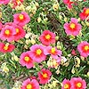 Helianthemum Ben Ledi - Rock Rose