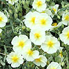 Helianthemum The Bride - Rock Rose