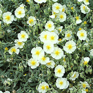 Helianthemum The Bride (Rock Rose)