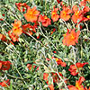 Helianthemum Welsh Flame - Rock Rose