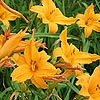 Hemerocallis - Burning Daylight - Day Lily