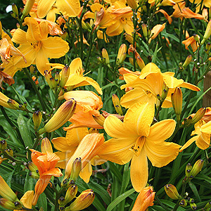 Hemerocallis - 'Cartwheels'