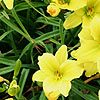 Hemerocallis - Green Flutter - Day Lily