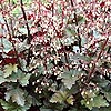 Heuchera - Chocolate Ruffles