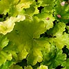 Heuchera - Key Lime Pie - Coralbells