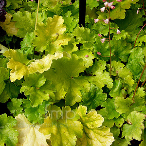 Heuchera - 'Key Lime Pie' (Coralbells)
