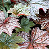 Heuchera micrantha - Palace Purple - Alum Root