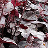 Heuchera - Plum Pudding