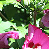 Hibiscus syriacus - Pink Giant - Cotton Rose