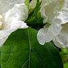 Hibiscus syriacus - W.R.Smith - Cotton Rose