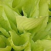 Hosta fortunei - Aurea - Plantain Lily