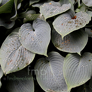 Hosta - 'Hapsden Blue'