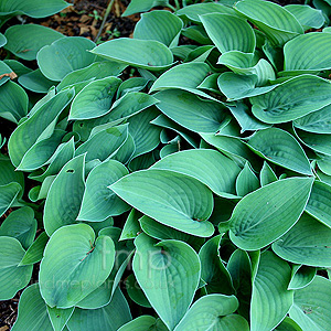Hosta - 'Pacific Blue Edger'