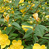 Hypericum calycinum - Rose Of Sharon