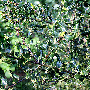 Ilex aquifolium - 'Crispa' (Small Leaved Holly, Ilex)